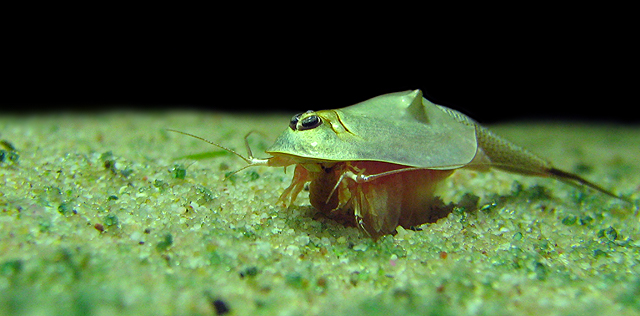 Triops Australiensis Queensland Comes From The East Coast Of Australia And Is A Very Heat Loving Triopsart